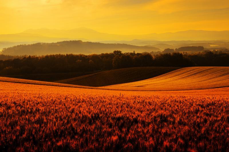 [ 麦畑朝景 ]  早朝の光に包まれた小麦畑が黄金色に輝いていました。