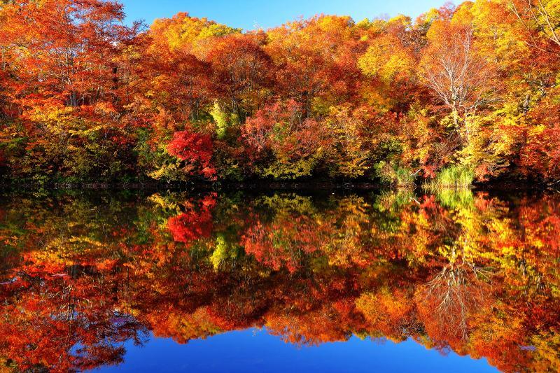 紅葉を映し出す水面 ブナ林亭から遊歩道を進み湖畔に着きました。西側の空は快晴で、見事に紅葉したブナ林の湖面への映り込みが非常にきれいでした。