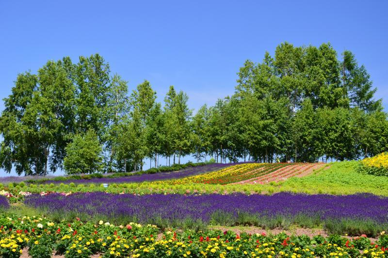 [ ゼルブの丘 ]  美瑛に来たらゼルブの丘はまず最初に訪れたい場所だ。季節に応じてラベンダーやヒマワリ等様々な花が植えられている。北西の丘に観光協会があり、ここで美瑛の詳細な観光マップをもらえるのでこのマップを見ながらじっくり散策するとよいだろう。