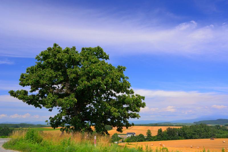 [ セブンスターの木 ]  雲がなければ背景に旭岳が望めます。