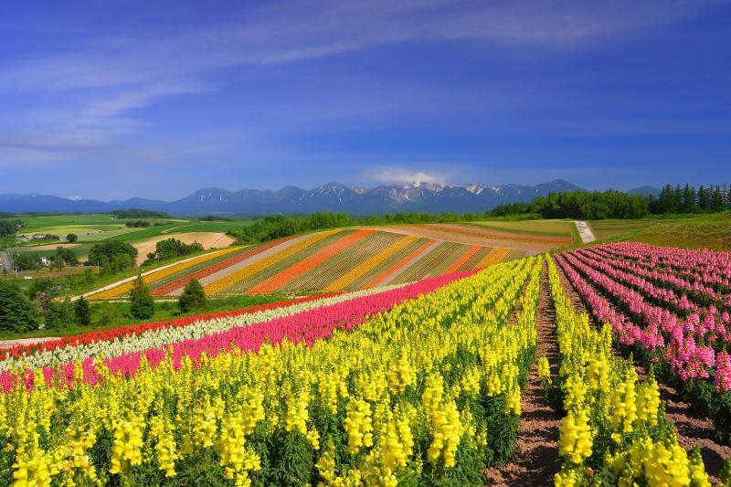 [ 四季彩の丘花模様 ]  色とりどりの金魚草が鮮やかなパッチ模様を創っていました。