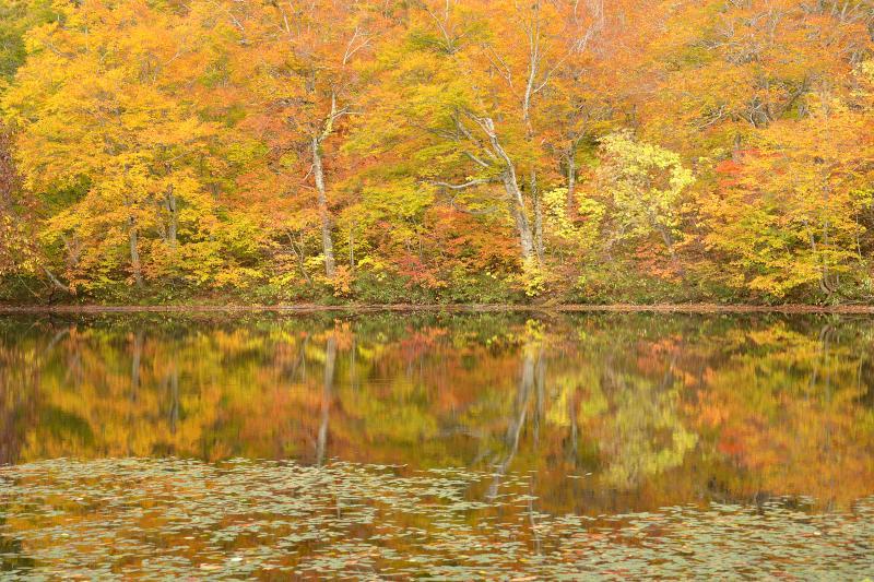 [ 湖畔の黄葉 ]  フトヒルムシロ越しにブナの黄葉を映しこむ水面が印象的でした。