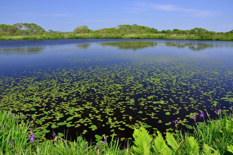 [  長沼 ]  サロベツ原野の南に位置する長沼。コウホネが群生する美しい沼。遊歩道沿いにはシダやカキツバタも群生しており静かな雰囲気の中で散策を楽しめます。