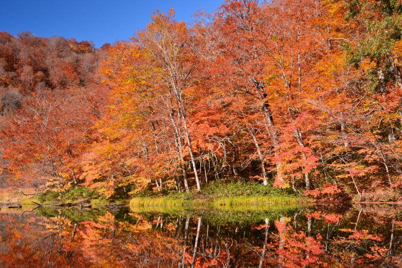 [ 菅沼湖畔 ]  湖畔沿いのブナ林は紅葉の見頃を迎えており、それを映す湖面が静寂さを際立たせていました。