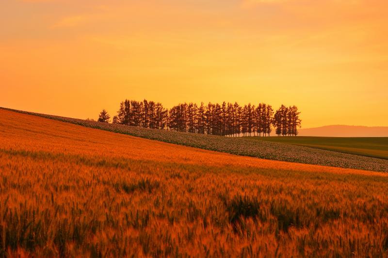 [ 夕刻のマイルドセブン ]  夕刻の光に包まれた小麦とジャガイモの花が印象的でした。