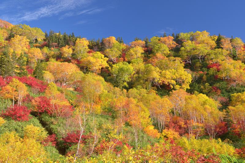 [ 錦秋栂池 ]  白馬乗鞍岳の斜面の紅葉も見頃を迎えていました。秋空に映えるダケカンバの黄色とナナカマドの赤。錦秋の栂池は豊かな色彩に満ちていました。