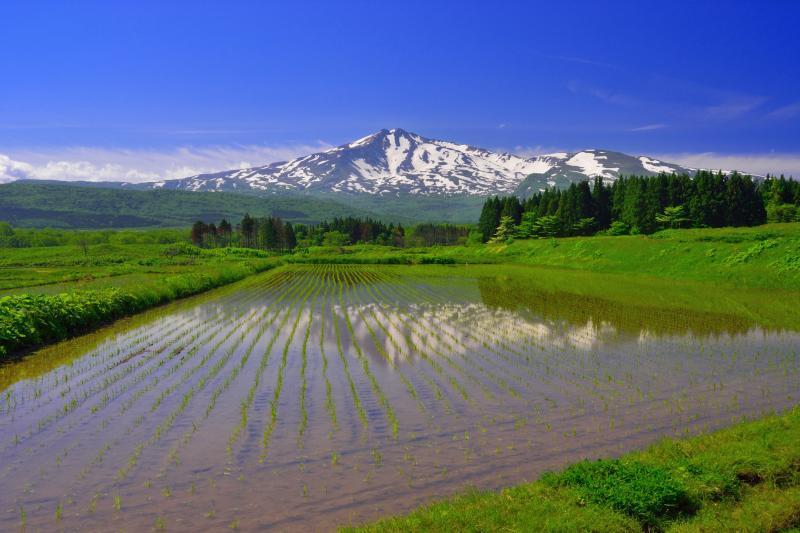 [ 上坂地区の水田 ]  水田に映る残雪の鳥海山が印象的。