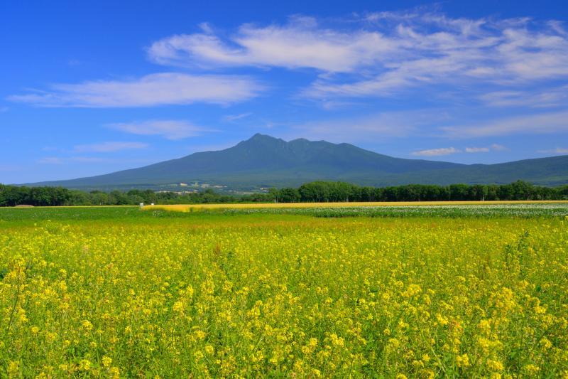 [ 黄辛子の花と斜里岳 ]  黄辛子は本州で言うところの菜の花です。夏から秋にかけて多く見られます。