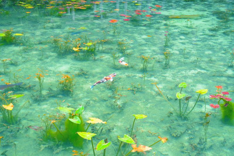 [ 睡蓮の池 ]  石英質の白い砂が透明度を引き立てています。