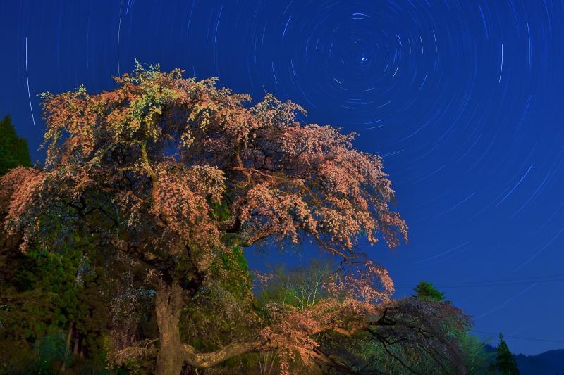 [ 夜の黒船桜 ]  ライトアップ終了後でも街灯の灯りでほんのりと桜が照らされます。