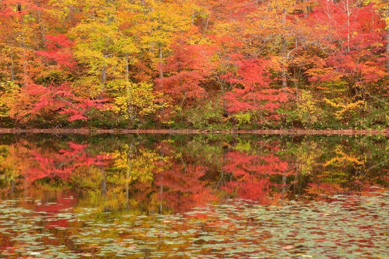 [ 刈込池湖畔 ]  湖畔沿いはブナの黄色とナナカマドの赤で埋め尽くされていました。