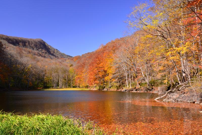 [ 長沼 ]  月沼の次に出てくる沼。湖面へのブナの落葉が秋の終わりを感じさせていました。