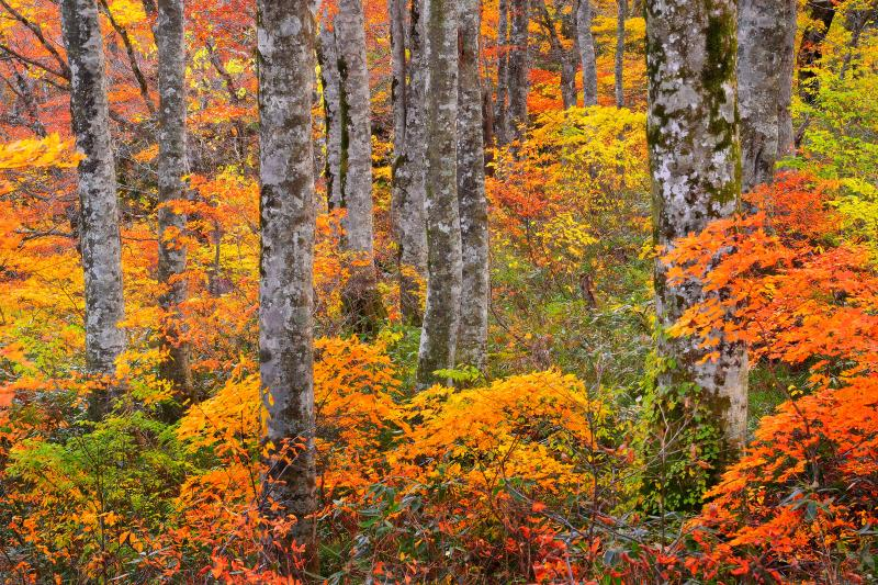 [ 錦秋の小径 ]  ブナの木々の下で色付くカエデの赤と黄色