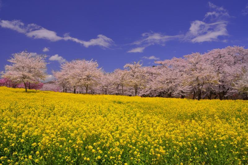 [ 菜の花と桜並木 ]  朝7時頃から菜の花畑に日が当り始めます。