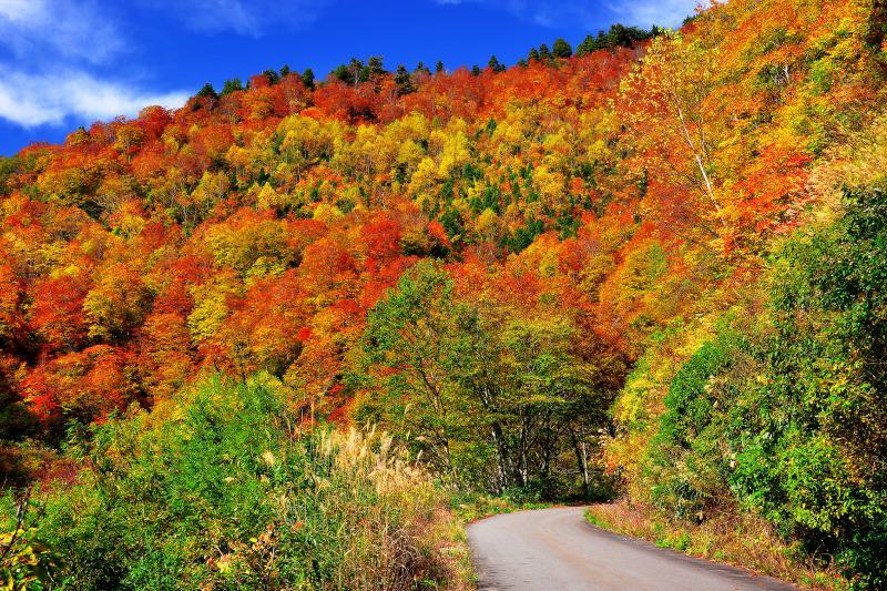 [ 秋山郷 ]  奥志賀のカヤノ平から雑魚川林道を経由して秋山郷を目指しました。林道沿いのブナ林の上品な紅葉が秋空に映え、すがすがしい空気に包まれていました。