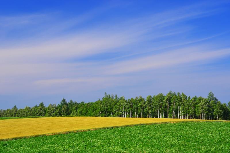 [ 清里町ビート畑 ]  ビート菜と麦畑の小高い丘が綺麗でした。