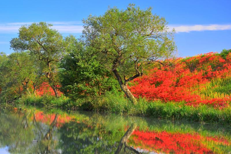 [ 津屋川の彼岸花 ]  水面に映る彼岸花。