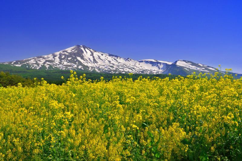 [ 桃野地区の菜の花畑 ]  菜の花の黄色と残雪の鳥海山が綺麗です。