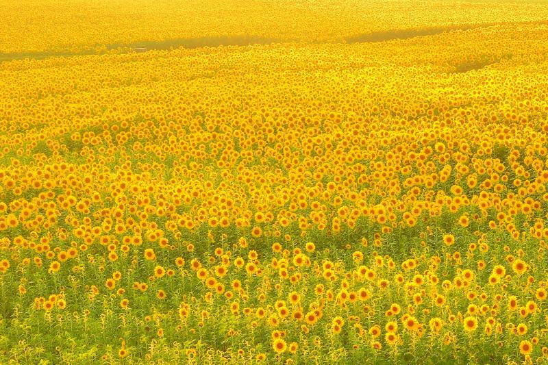 [ 夕刻のひまわり畑 ]  斜光に輝くひまわり畑も幻想的です。
