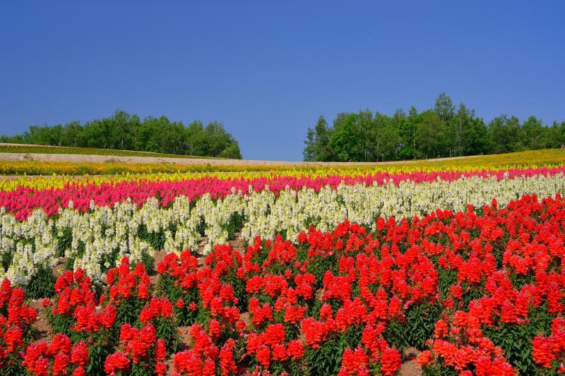 [ 四季彩の丘 ]  美馬牛エリアにある花の観光農園です。