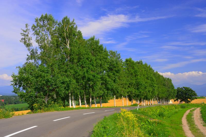 [ セブンスターの木 ]  一番右奥に見えるカシワの木がセブンスターです。