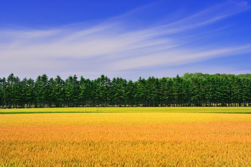 清里町麦畑 | 麦畑が色づき始めていました。