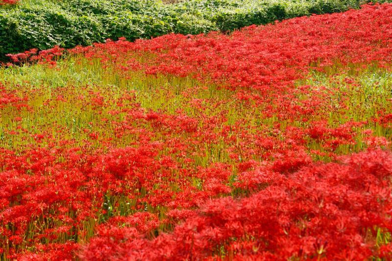 [ 赤の群生 ]  堰堤沿いには2kmに渡って赤い絨毯が広がっています。