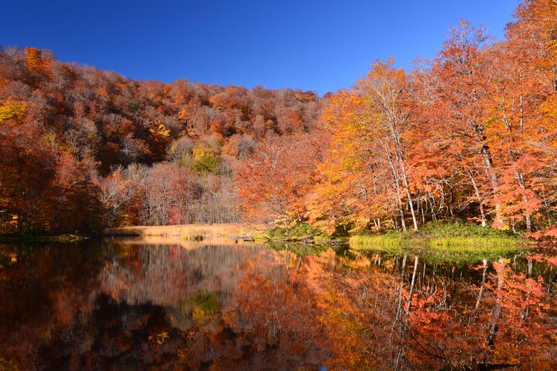 [ 菅沼 ]  菅沼の紅葉。紅葉の美しさだけなら蔦沼に匹敵する。