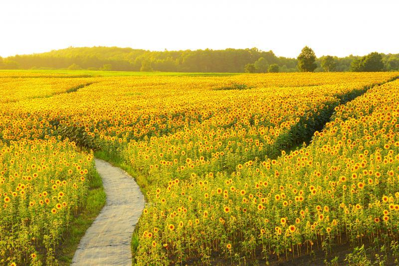 [ 夕刻のひまわり畑 ]  夕刻の日差しがひまわりの黄色をより鮮やかにしていました。