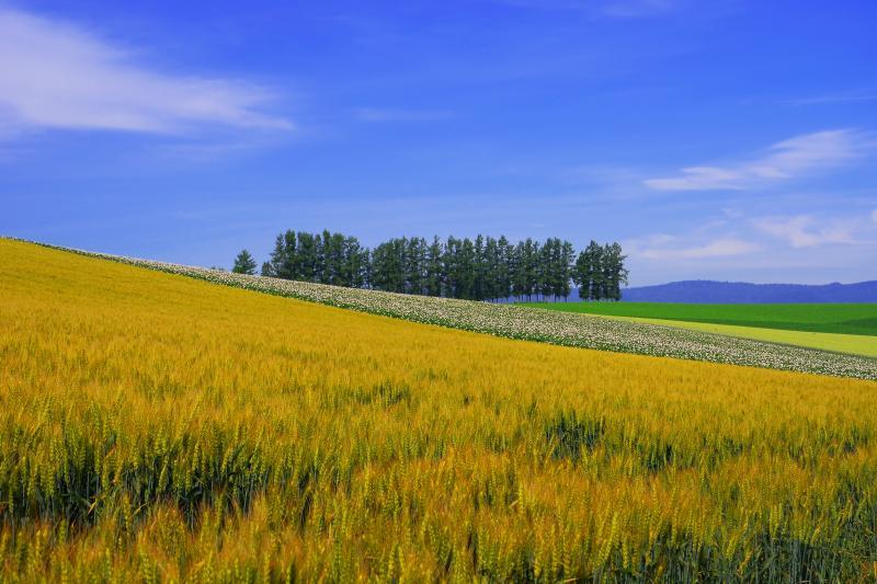 マイルドセブンの丘 | 秋撒き小麦が色付き始めていました。