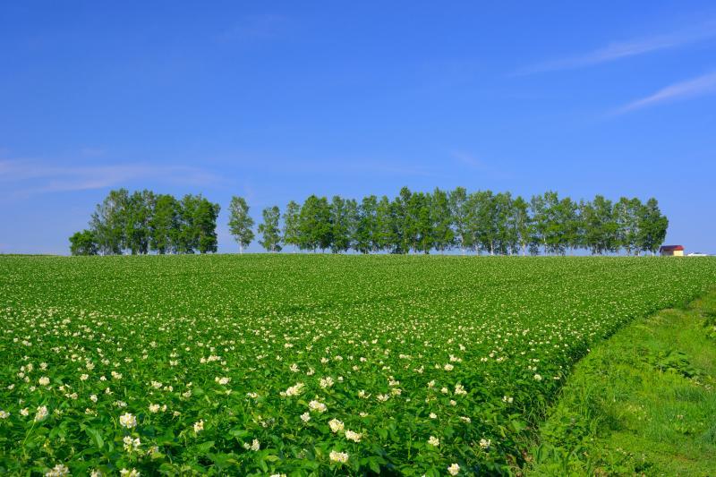 [ ジャガイモの花咲く季節 ]  並木の下のジャガイモ畑は可愛らしい花を付け始めていました。