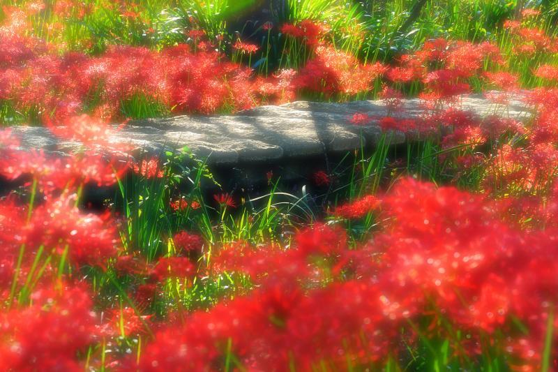 [ 木漏れ日の中で ]  木漏れ日に輝く彼岸花が印象的でした。