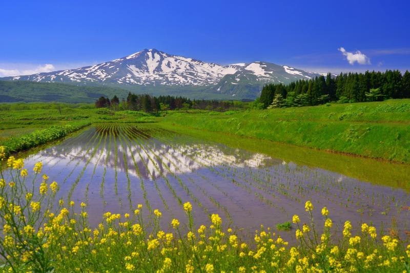 [ 菜の花と水田 ]  畔に生えた菜の花が春らしさを感じさせてくれます。