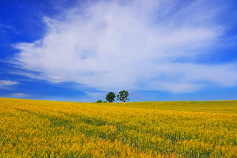 [ 親子の木 ]  麦畑の向こうには親子のように仲良く並んでいる3本の木が立っています。