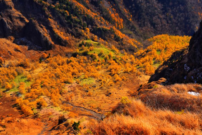 [ 剣ヶ峰直下のカラマツ ]  黄色に色付いた美しいカラマツ林