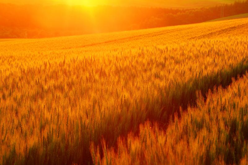 [ 三愛の丘 ]  強烈な夕日に照らされて秋撒き小麦が黄金色に輝いていました。