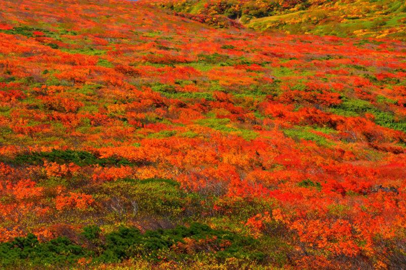 [ 山腹の紅葉 ]  カエデの鮮やかな赤が斜光に輝いていました。