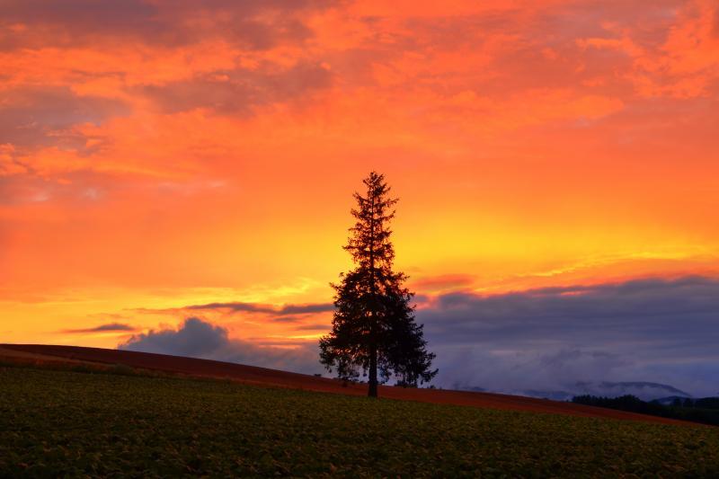 [ クリスマスツリーの木 ]  雨上がり後の空が茜色に染まっていきました。