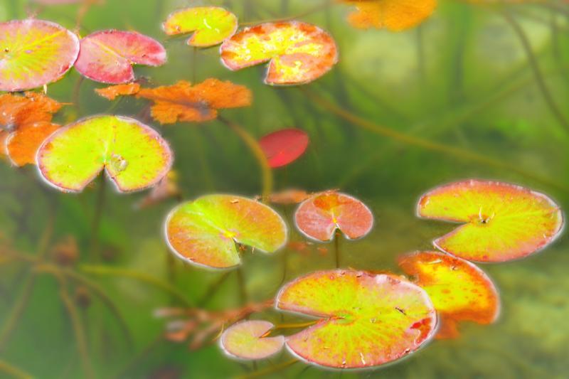 [ 水草の紅葉 ]  水面にも秋の訪れがあるようです。