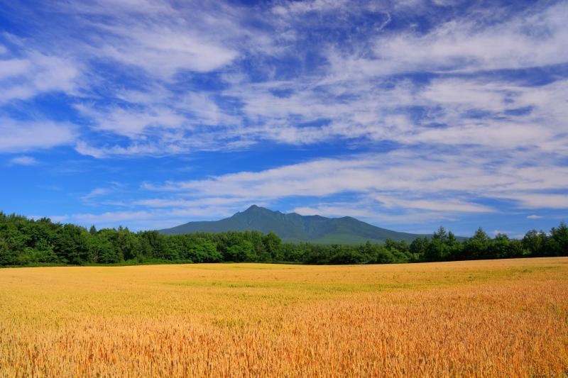 [ 斜里岳と麦畑 ]  秋撒き小麦の「きたほなみ」も色付いていました。