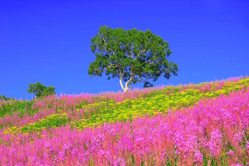 硯川の貴婦人 | ヤナギランに囲まれた丘の上にたたずむ印象的な一本の木