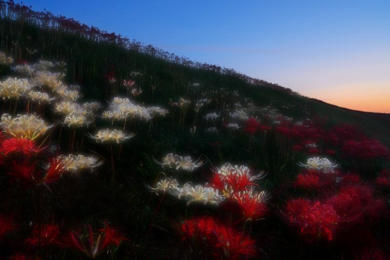 [ 朝の訪れ ]  夜明け前の空の色と白の彼岸花が綺麗でした。