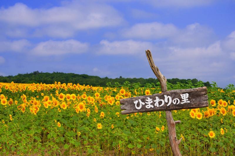 [ 北竜町ひまわりの里 ]  130万本のひまわりが栽培されています。