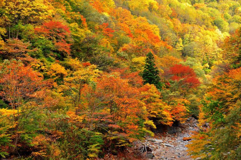 [ 秋山郷 ]  屋敷付近からは中津川源流部の景観も楽しめます。この付近の川沿いは落葉樹の原生林なのでブナやケヤキの控え目でいて落ち着いた紅葉が印象的です。