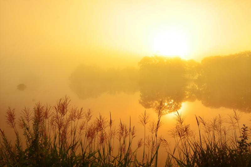 [ 朝霧の大沼公園 ]  朝霧に包まれた大沼に赤味を増したススキの穂が輝いていました。
