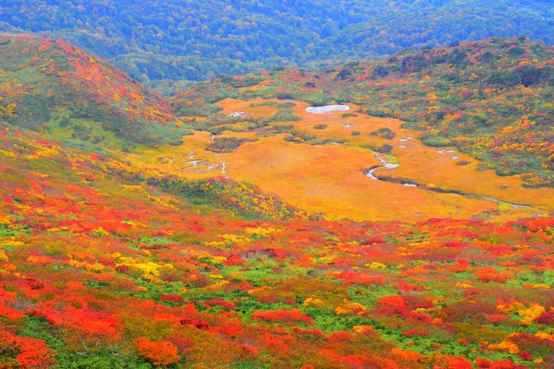 [ 錦秋の龍泉ヶ原 ]  草紅葉とカエデの紅葉に彩られた高層湿原