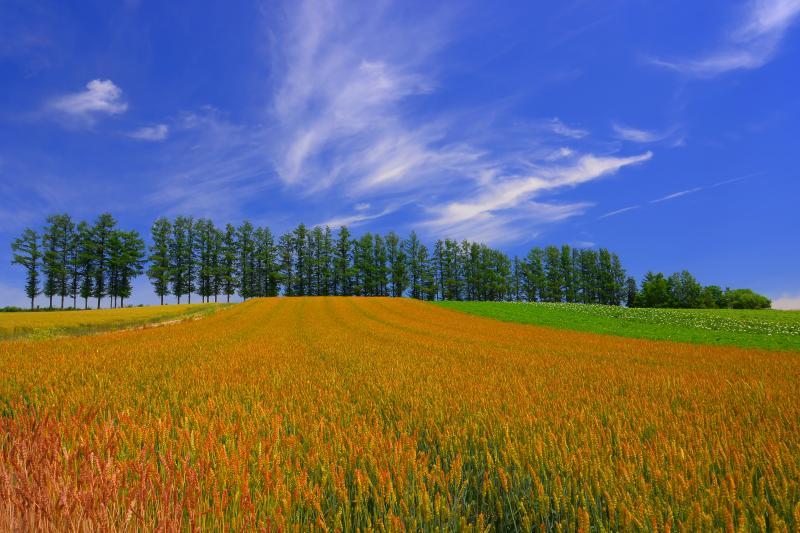 [ 赤麦の丘 ]  タクネという1980年代の赤味の強い小麦が植えられています。
