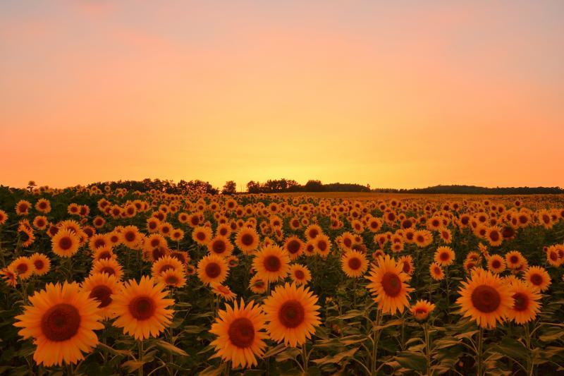 [ ひまわりの里夕景 ]  日没直後のひまわり畑も綺麗でした。