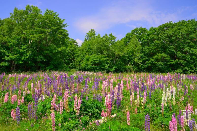 [ ルピナス群生 ]  紫と桃色の花が緑に負けじと咲き誇っていました。