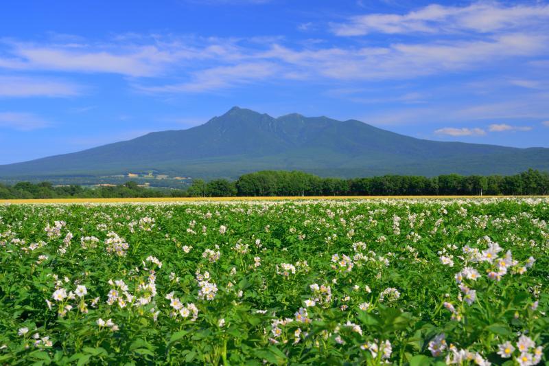 [ ジャガイモ畑と斜里岳 ]  風になびくジャガイモの花が印象的でした。
